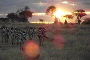 Mikumi Sunset Zebra