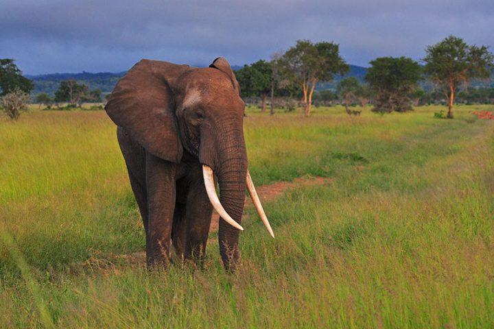 Mikumi Elephant