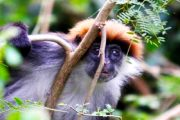 Iringa red Colobus - Udzungwa Mountains