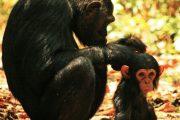 Chimpanzees Western Tanzania