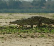 Selous Crocodile