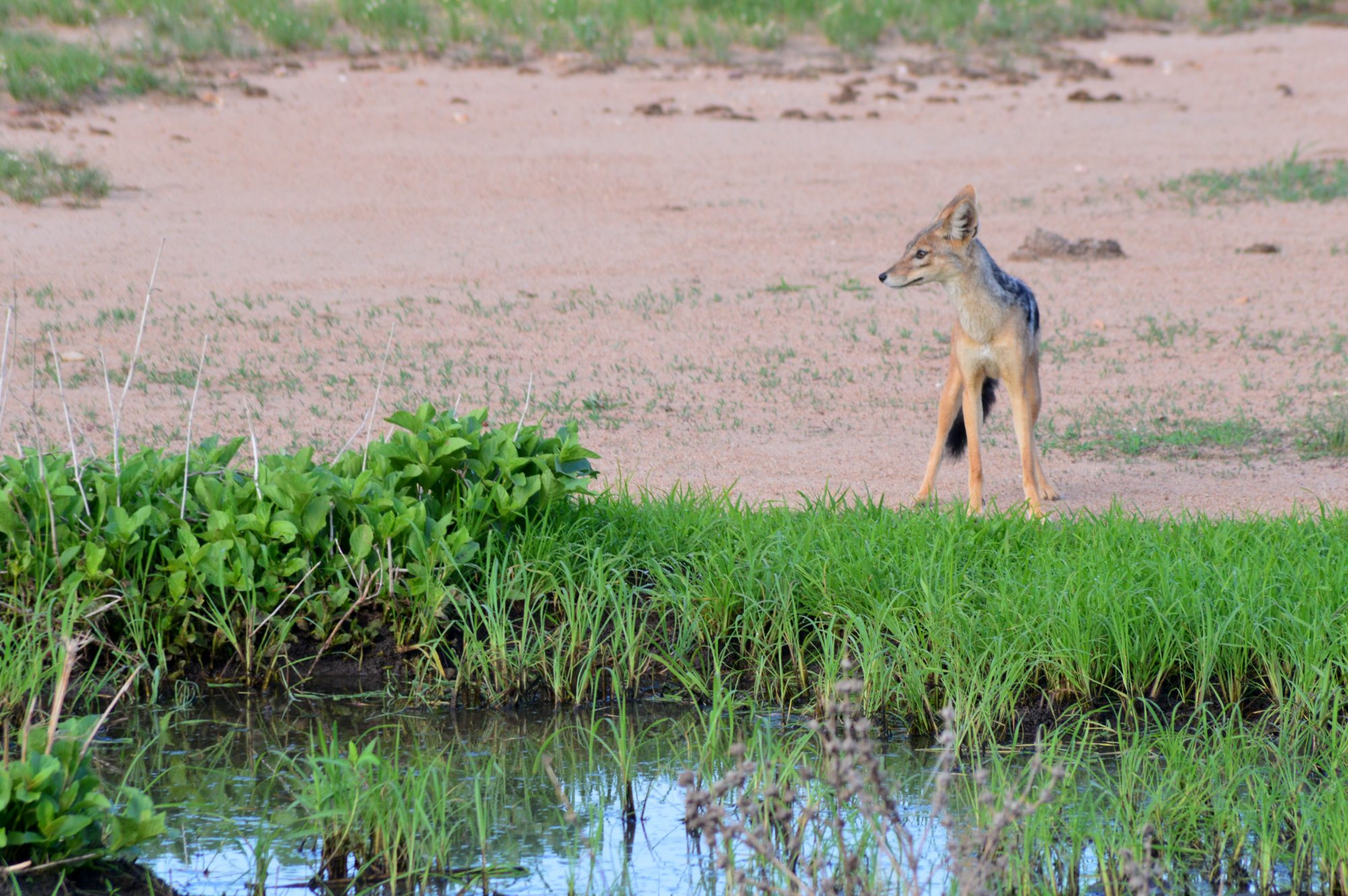 Black backed jackal Mikumi