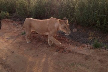 Scouts on safari - lioness