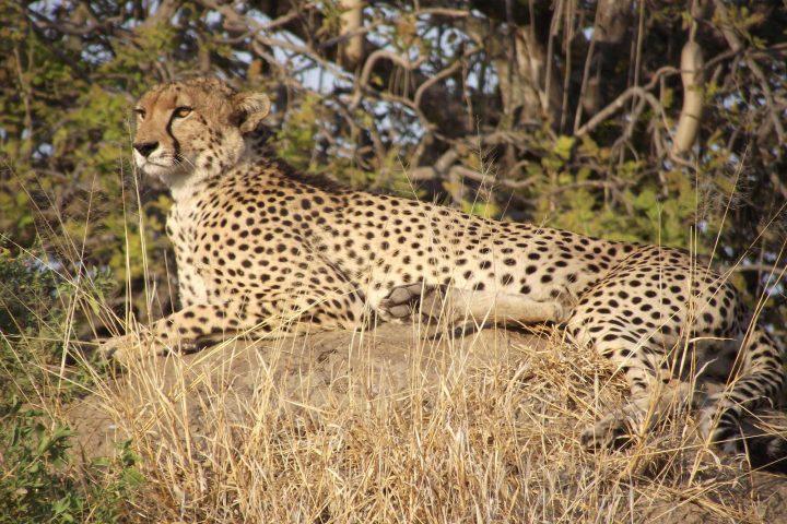 Cheetah Ruaha