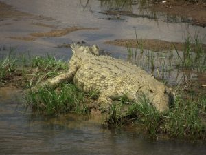 Crocodile, Ruaha National Park