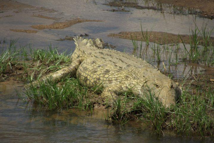 Crocodile, Ruaha National Park