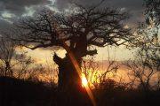 Boabab Sunrise Ruaha