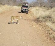 Game driving Ruaha National Park