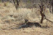 Lioness and cub Ruaha National Park