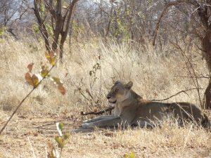 Ruaha Lioness