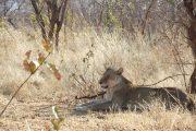 Lioness Ruaha National Park