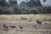 Kudu on the Mwagusi sand River