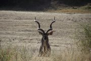 Kudu Ruaha National Park