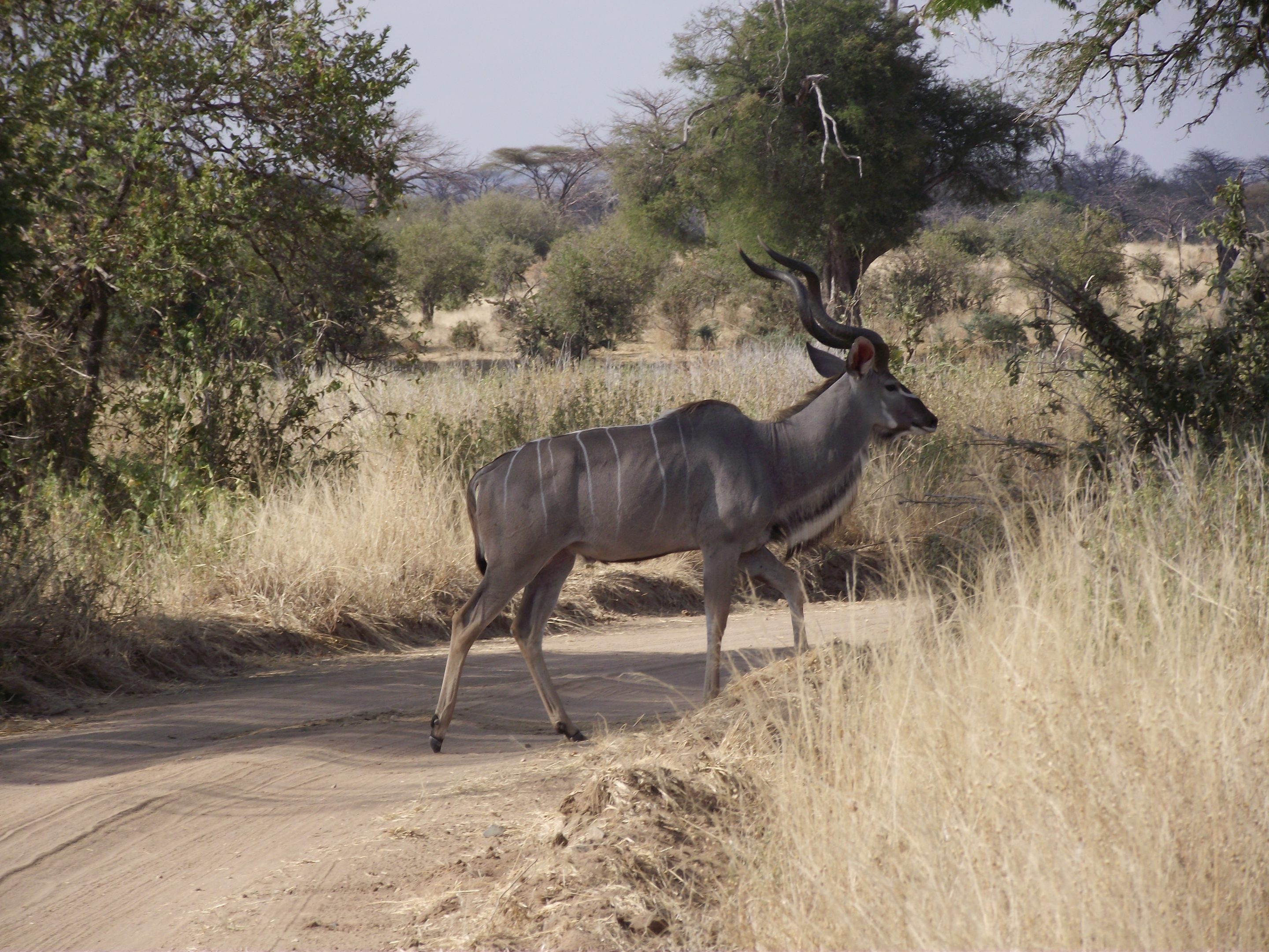 Kudu Ruaha National Park