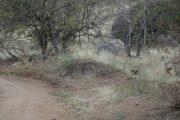 Leopard crossing the road, Ruaha National Park