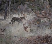 Leopard, Ruaha National Park