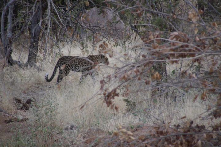 Leopard, Ruaha National Park