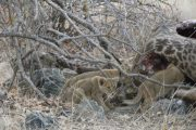 Lion cubs with giraffe kill