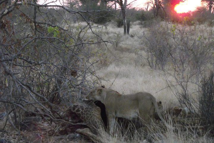 Lioness with giraffe kill