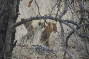 Lion cubs in Ruaha National Park