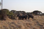 Elephants Defensive Herd Ruaha