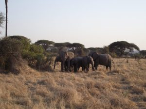 Elephants Defensive Herd Ruaha