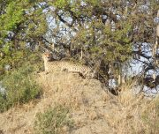 CCheetah looking Ruaha National Park