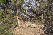 Cheetah and Kigelia