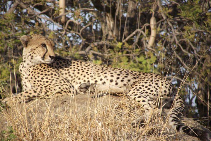 Cheetah taking a rest.