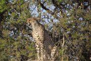 Cheetah Grinning Ruaha National Park
