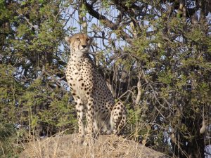 Cheetah Sitting Ruaha