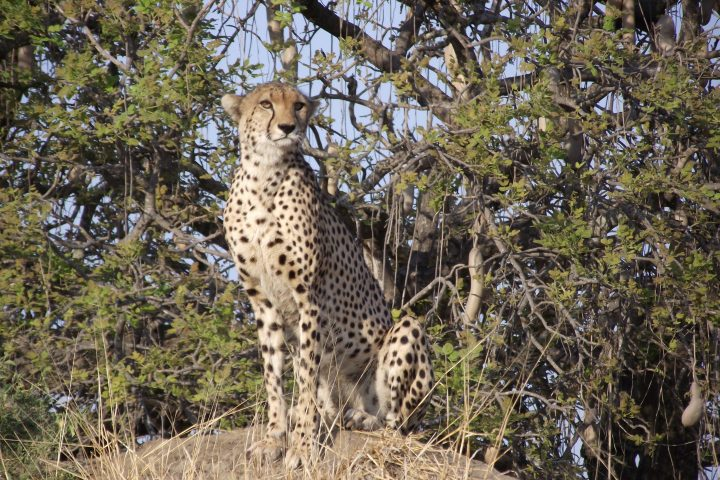 Cheetah Sitting Ruaha