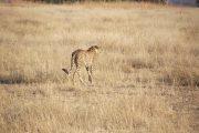 Cheetah Hunting Ruaha