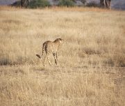 Cheetah Hunting Ruaha