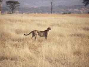 Ruaha Cheetah