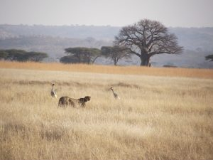 Cheetah and Crowned Cranes