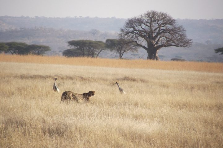 Cheetah and Crowned Cranes