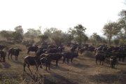 Buffalo herd in Mikumi National Park