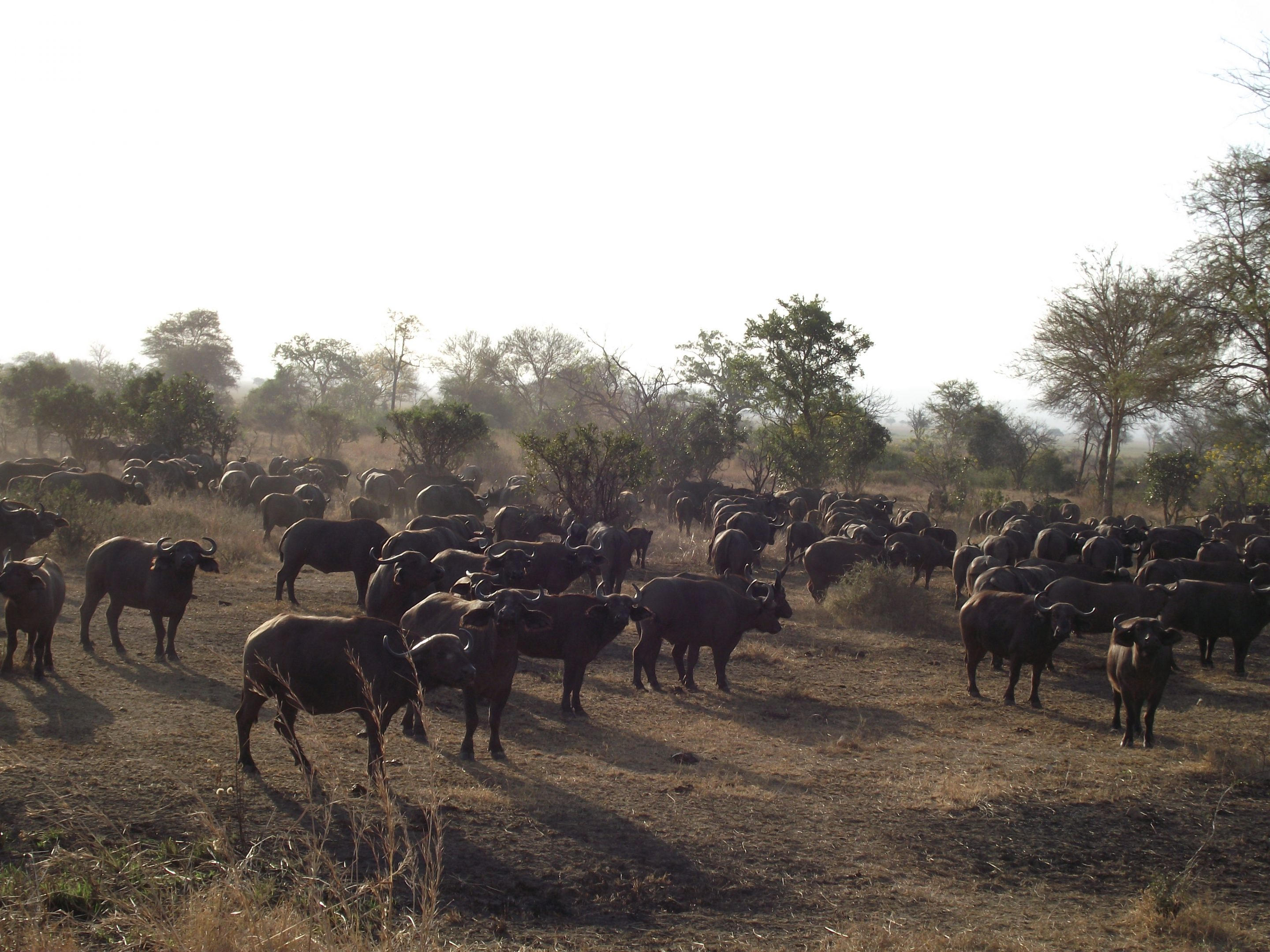 Buffalo herd in Mikumi National Park