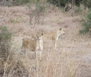 Lionesses hunting in Mikumi National Park