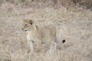 Female Lion Mikumi National Park