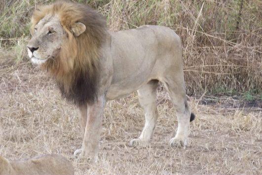 Mikumi National Park Male Lion