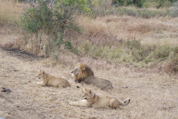 Lion Family Mikumi National Park