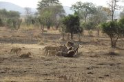 Mikumi National Park Lions Feeding