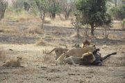 Mikumi Lion Kill With Cubs