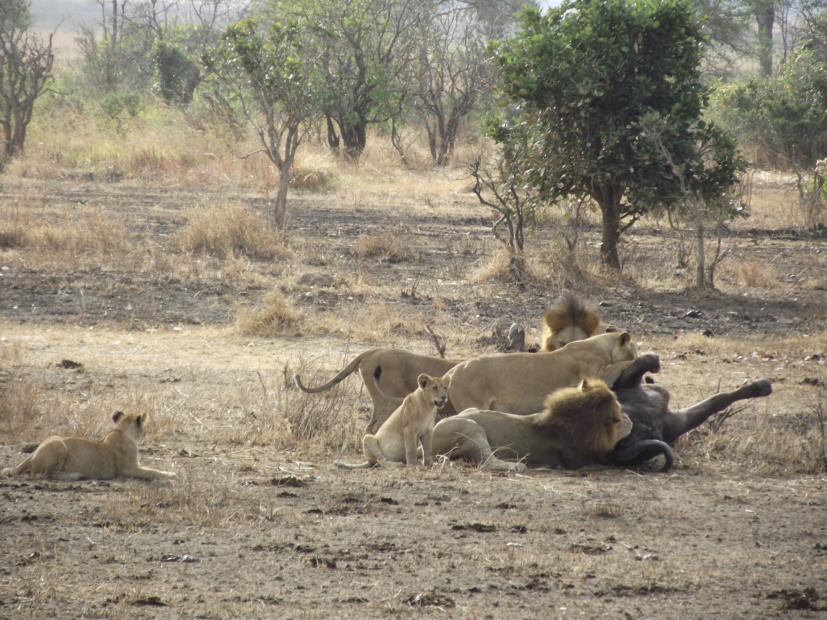 Mikumi Lion Kill With Cubs