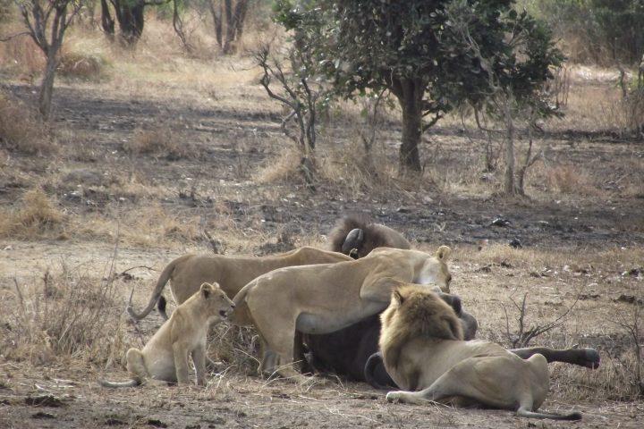 Mikumi Lions feeding