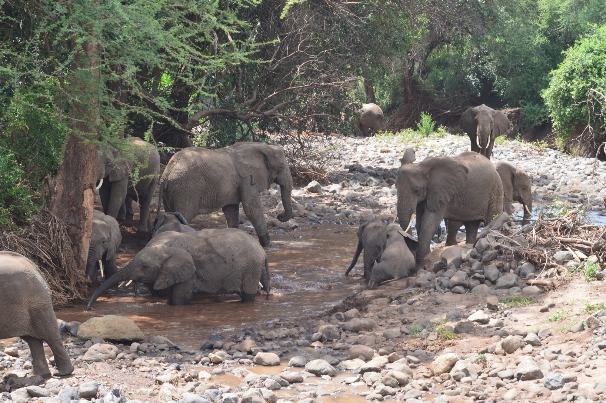 Elephants in the stream