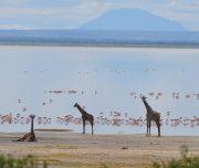 Giraffe before flamingos