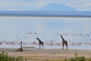 Giraffe before flamingos